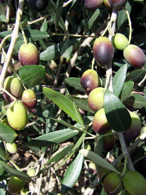 Dicembre, l'olivo