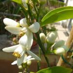 aprile fiori d'arancio