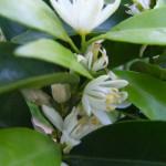 clementina in fiore  2