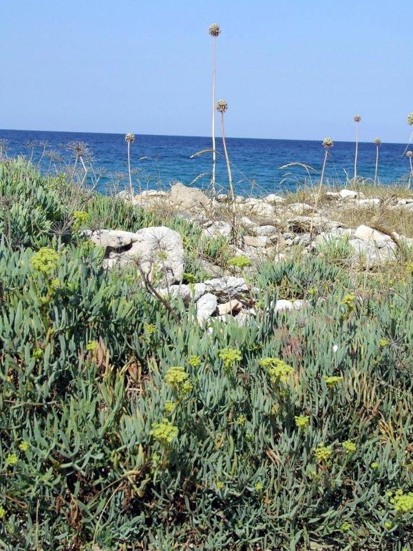 Agosto: il finocchio di mare