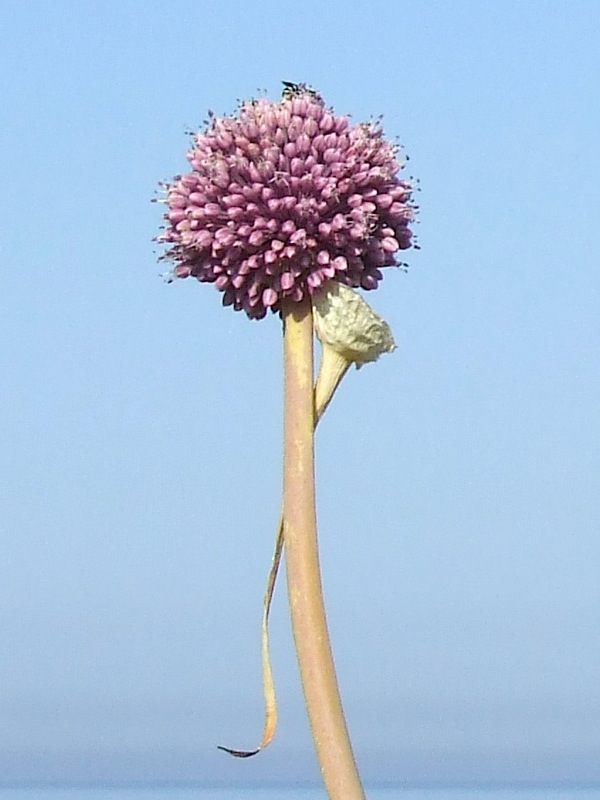 Febbraio, allium ampeloprasum ovvero il delicato porro selvatico