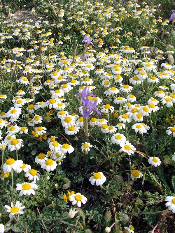 Maggio, iris sisyrinchium