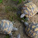 tartarughine engobbiate