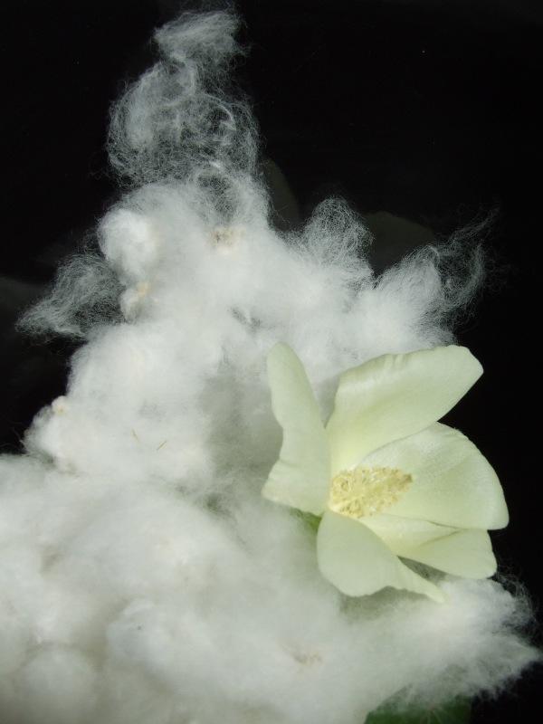 Settembre, il cotone