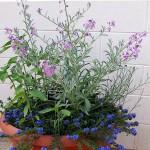 aprile vaso matthiola e alkanna tinctoria