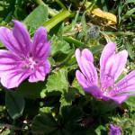 fiori malva piccola