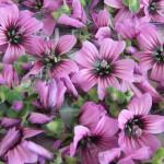 fiori tisana