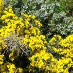 ginestra spinosa rosmarino marzo