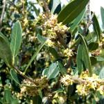 olivastro in fiore marzo