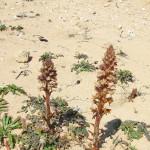 neottia sabbia