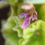 fiore ballota