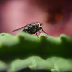 mosca su asclepiacea