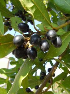 frutti alloro novembre