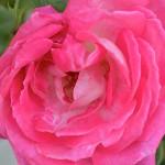 rosa Racale