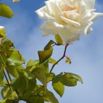 rosa bianca cielo