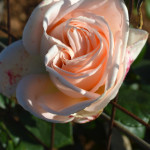 rosa capodanno