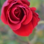 rosa dicembre