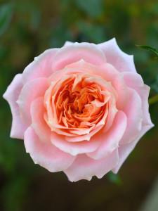rosa evidenza