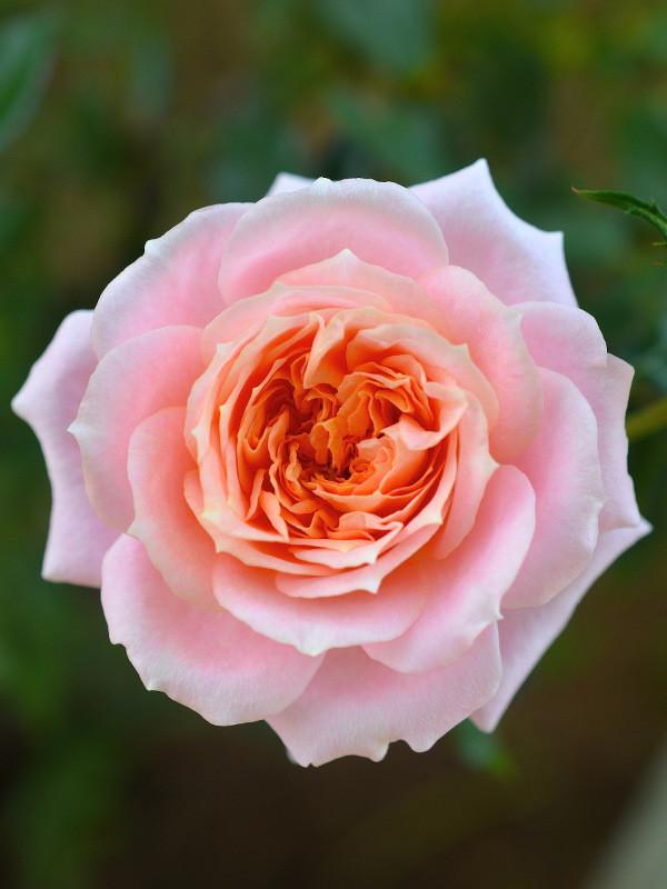 Novembre : fioriscono le rose