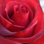 rosa 'macolata