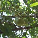 rami frutti