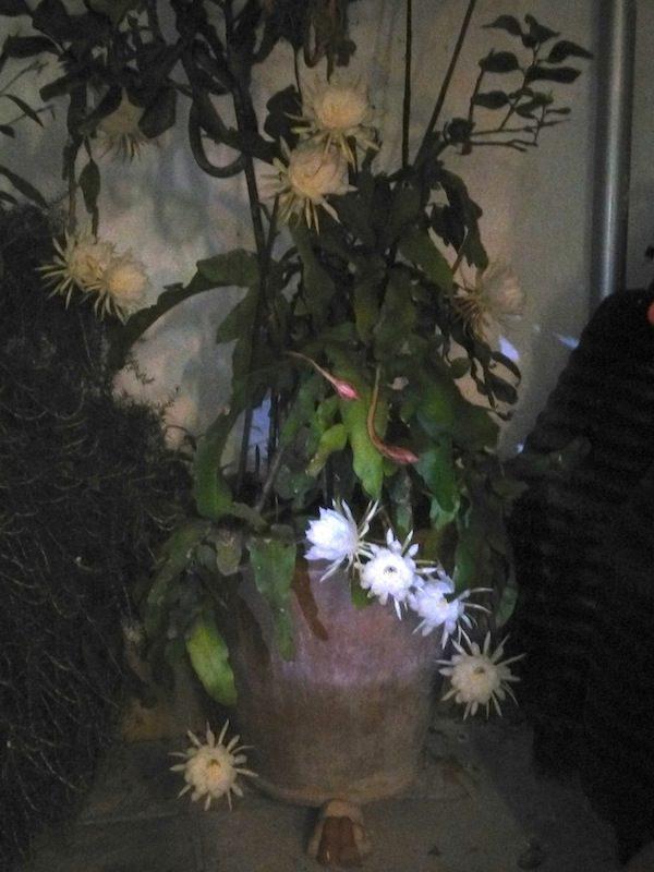 Lo splendore di una sola notte : Epiphillum oxipetalum